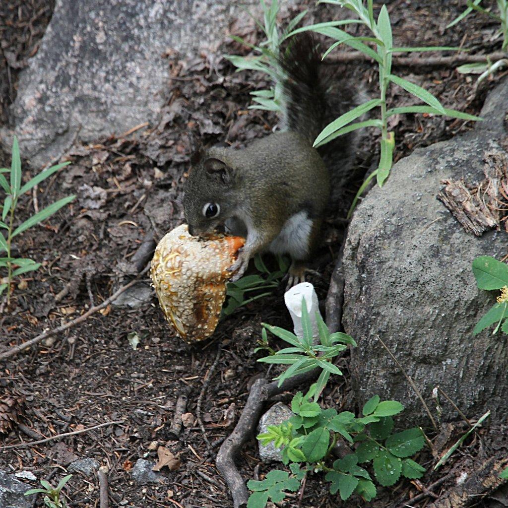 Squirrel dining on a Mushroom