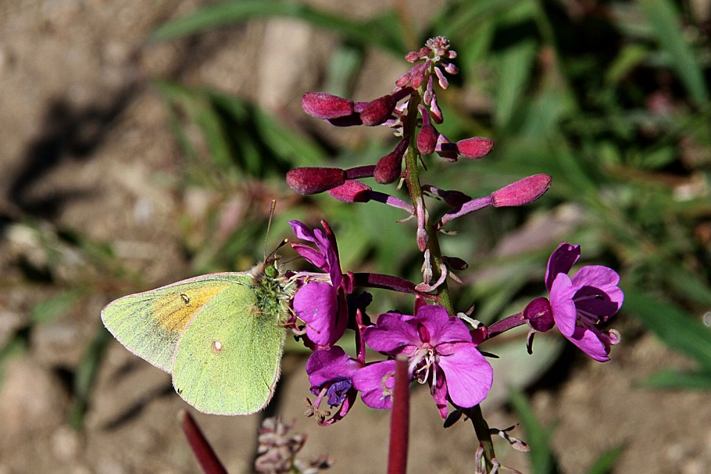Butterfly and Fireweed