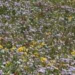 A cacophony of wildflowers